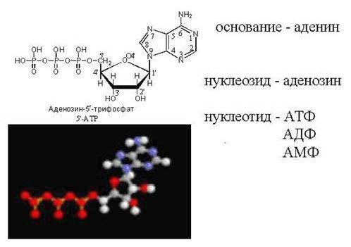 Рефераты Биология и химия Нуклеотиды страница реферата  Рефераты Биология и химия Нуклеотиды